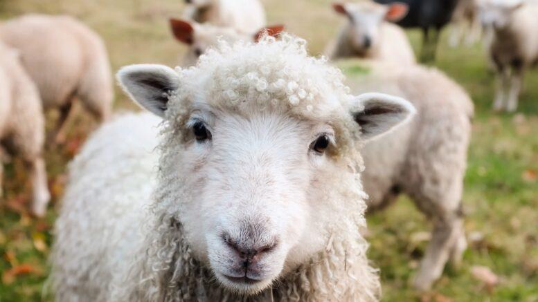 Photo of sheep saying hello in Ireland